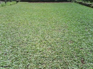 107830-1-supplier-rumput-gajah-mini(1)
